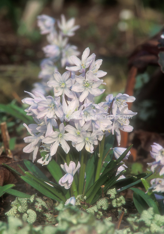 Scilla mischtschenkoana aka S. tubergeniana, Early Squill in spring bloom with white flowers with blue tinges