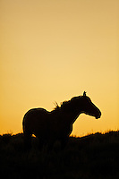 Wyoming Mustang Sunset Silhouette