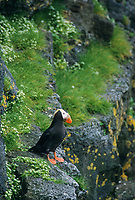 Tufted puffins, St. Paul Island, Pribilof Islands, Alaska.