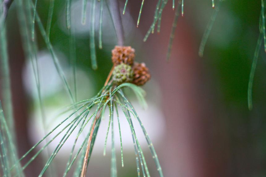 Pine needles closeup