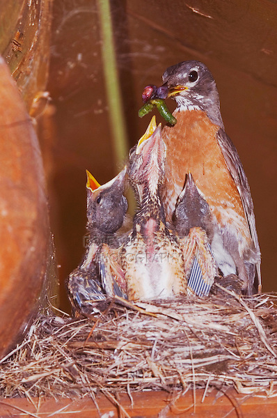 American Robin (Turdus migratorius), female with young on nest at Log Cabin, Glacier National Park, Montana, USA