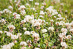 White Clover trillium or trefoil close up growing in grass lawn, Suffolk, England