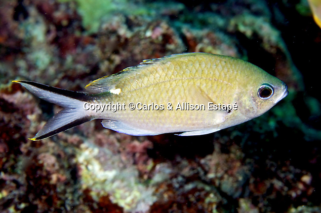 Chromis multilineata, Brown chromis, Florida Keys