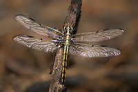 389100009 a wild teneral male bar-winged skimmer libellula axelina perches on a long leaf pine tree in the angelina national forest jasper county texas