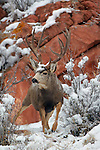 Mule Deer Buck in Snow