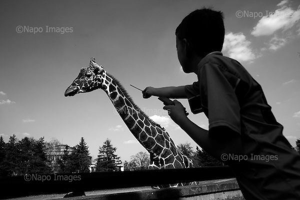 Wroclaw, Poland, April 4, 2009:<br /> Visitors and a giraffe at the .Wroclaw Zoo.(Photo by Piotr Malecki / Napo Images)..Chlopiec w Zoo kolo wybiegu zyrafy ..Wroclaw, Kwiecien 2009.Fot: Piotr Malecki / Napo Images