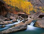 Zion National Park, UT<br /> A grove of velvet ash (Fraxinus velutina) in fall above the rocks and flowing waters of the Virgin River at the Gateway to the Narrows Trail