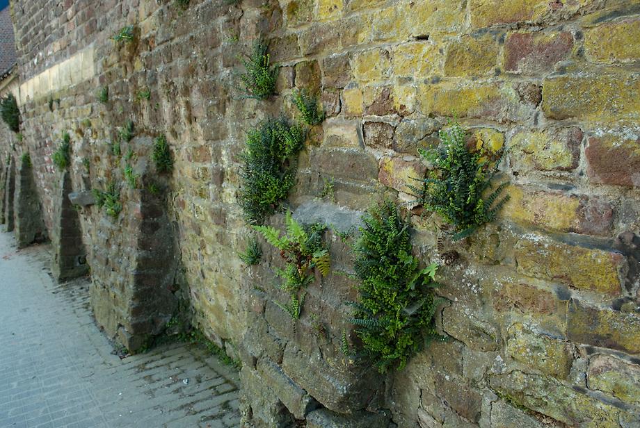 Muurvegetatie op oude hoeve muur.