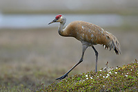 """Lesser"" Sandhill Crane (Grus canadensis canadensis) walking across the tundra near its nest. Yukon Delta National Wildlife Refuge, Alaska. June."