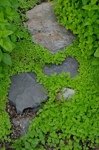 Rock pathway through garden of sedum, Yarmouth community garden, Maine, USA