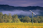 Morning fog over vineyards in fall, Ehlers Estate, near St. Helena, Napa County, California