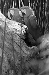 Macaws New World Parrots Mexico, Macaws, disambiguation, new world parrots, psittacidae, genera, ara, anodorhynchus, cyanopsitta, primolius, orthopsittaca, diopsittaca, primolius, propyrrhura, Mexico, South America, Central America, Caribbean, rainforest, savanna habitats, Anodorhynchus, hyacinth macaw, parrots, Fine Art Photography, Ronald T. Bennett (c) Fine Art Photography by Ron Bennett, Fine Art, Fine Art photography, Art Photography, Copyright RonBennettPhotography.com ©