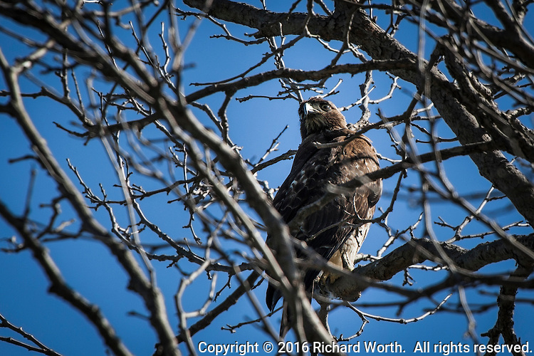 In a tangle of leaf-bare branches, a Red-tailed hawk glares down, confident and fearless from its perch in the air.