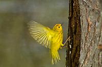 yellow warbler in flight during spring migration