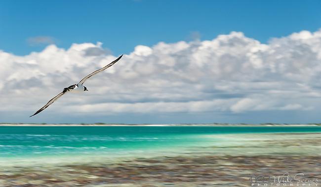One of the many species of seabirds on the island of Kiritimati, Kiribati