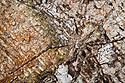 Long-spinnered Bark Spider {Hersiliidae sp} camouflaged on tree bark, tropical rainforest, Masoala Peninsula National Park, north east Madagascar.