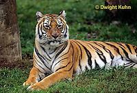 MA40-004a  Bengal Tiger - Panthera tigris