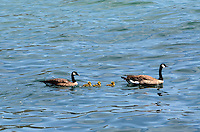 A pair of         swimming with their chicks in the Pacific Ocean, near Jenner, Sonoma County, California, USA. 201304292086<br /> <br /> Copyright Image from Victor Patterson, 54 Dorchester Park, Belfast, UK, BT9 6RJ<br /> <br /> Tel: +44 28 9066 1296<br /> Mob: +44 7802 353836<br /> Voicemail +44 20 8816 7153<br /> Skype: victorpattersonbelfast<br /> Email: victorpatterson@me.com<br /> Email: victorpatterson@ireland.com (back-up)<br /> <br /> IMPORTANT: If you wish to use this image or any other of my images please go to www.victorpatterson.com and click on the Terms &amp; Conditions. Then contact me by email or phone with the reference number(s) of the image(s) concerned.