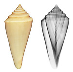 Reflective and x-ray photography study of a cone shell (Conus teramachii, on white) by Jim Wehtje, specialist in x-ray art and design images.