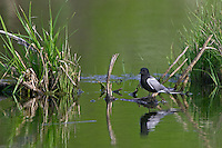 Black Tern with reflections on a marsh