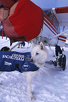 B Cotter's Dropped Dog by Plane Elim Chkpt Iditarod 99 AK