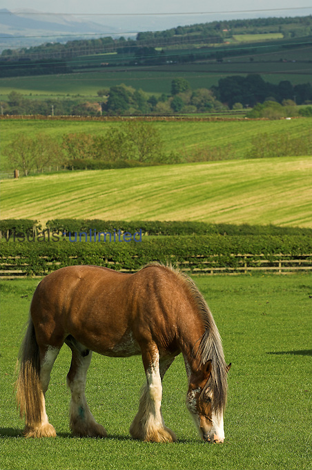 heavy horse grazing in field
