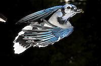 Blue Jay, Cyanocitta cristata, captured in flight.