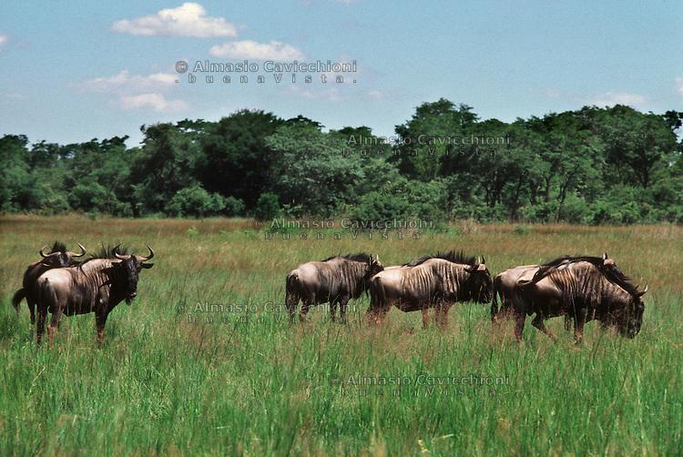 Africa, Zimbabwe, gnu nella savana.<br /> Zimbabwe, gnu in the bush.