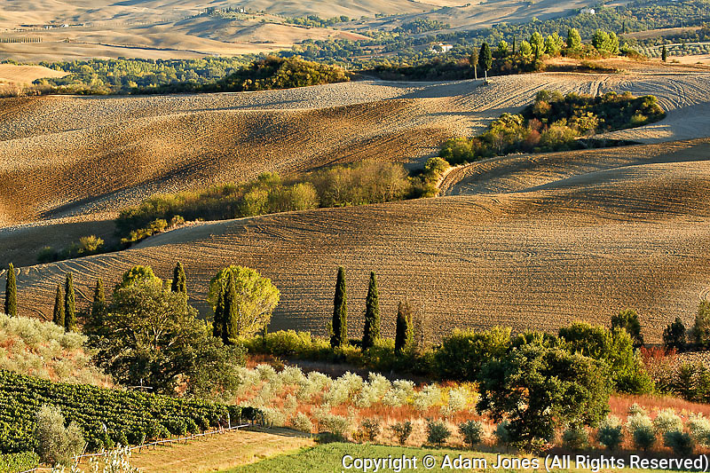 Vineyard and Olive trees at sunset, San Quirico d'Orcia, Tuscany, Italy