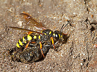 Sand-tailed Digger Wasp or Weevil Wasp - Cerceris arenaria
