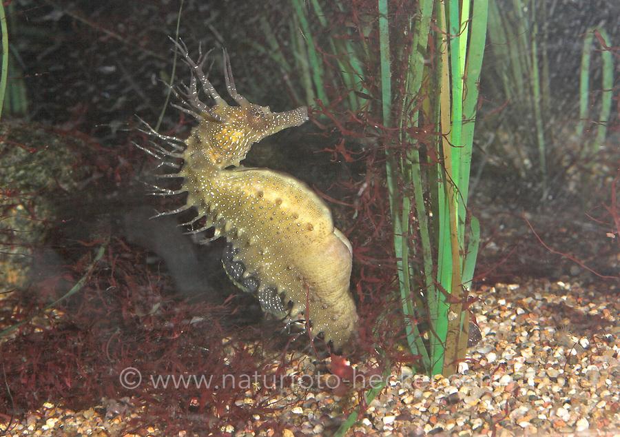 Langschnauziges Seepferdchen, Seepferd, Langschnäuziges See-Pferdchen, Hippocampus ramulosus, Hippocampus guttulatus, European seahorse, long-snouted seahorse