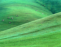 Holstein cows on Sutter Butte with spring grass growth, California