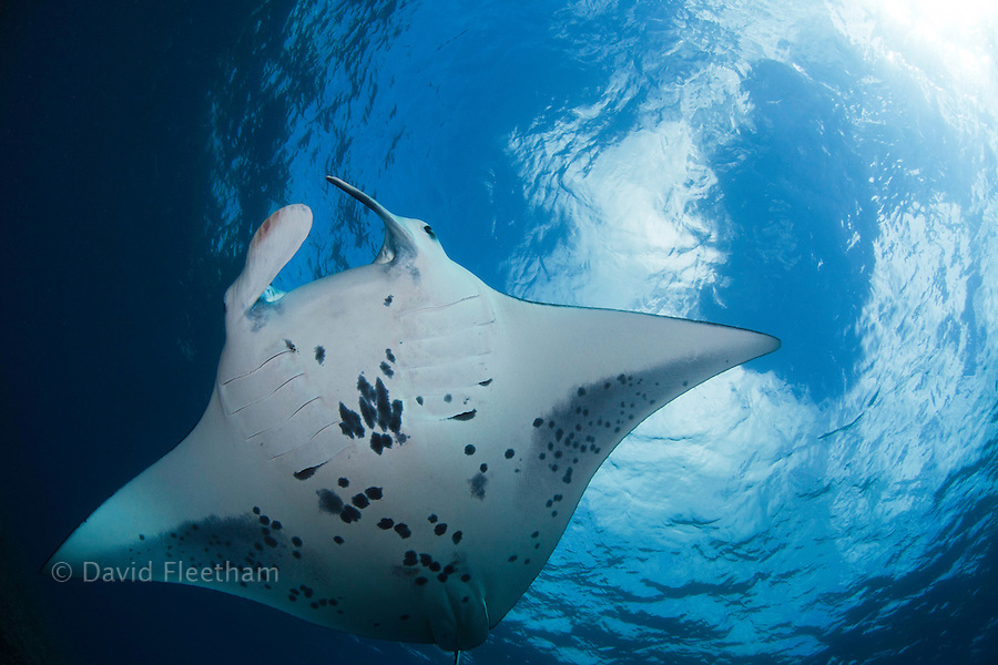 A view from below of a reef manta ray, Manta alfredi, over a shallow reef off Ukumehame, Maui, Hawaii.
