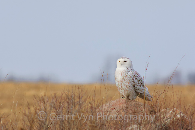 Female Snowy Owl (Bubo scandiacus) perched on a rock. Wolfe Island, Ontario. February.