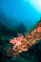 Coral-covered wreck, with divers in background, Liberty Wreck dive site, Tulamben, near Seraya, Bali, Indonesia, Indian Ocean