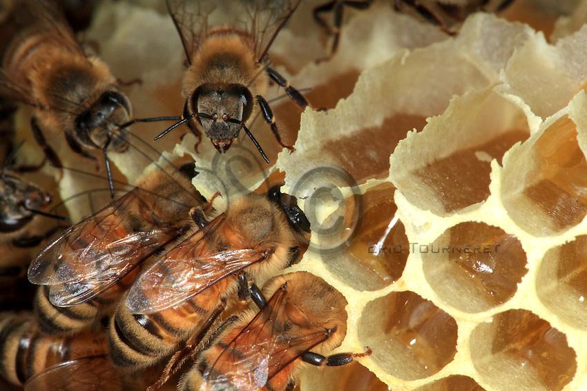 Des abeilles sur des cellules de cires remplissent leurs jabots de miel.///Bees on the wax cells fill their gobs with honey.
