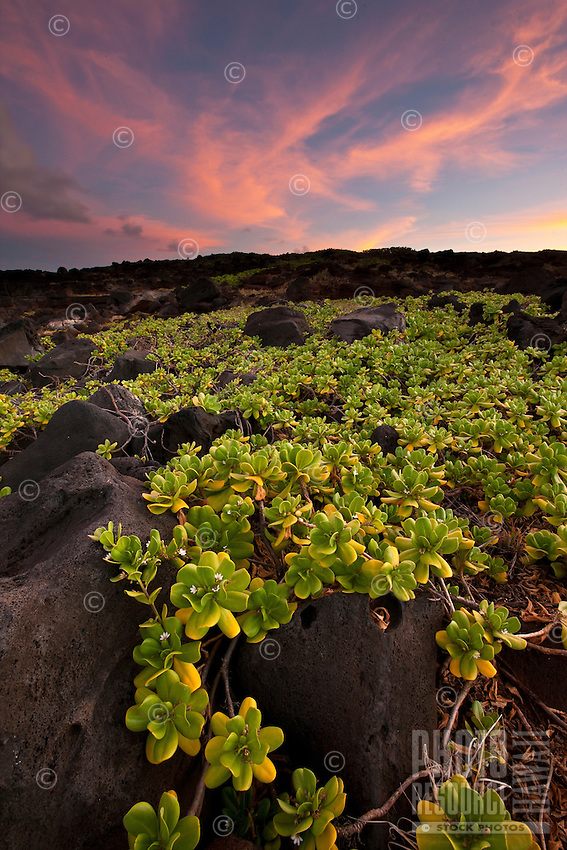Brilliantly pink sunset over vines on Kauai's south shore.