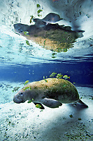 Florida manatee (Trichechus manatus latirostris, a subspecies of West Indian manatee, Trichechus manatus, being cleaned by sunfish, Lepomis sp., Three Sisters Springs, Crystal River, Florida, USA