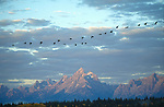 A flock of Canada geese fly over the Teton range.