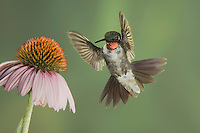 Ruby-throated Hummingbird, Archilochus colubris, male in flight feeding on Purple Coneflower, New Braunfels, Texas, USA