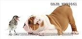 Kim, ANIMALS, fondless, photos(GBJBWP29061,#A#) Tiere ohne Fond, animales sind fondo