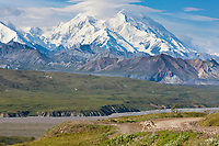 Wolf of the Grant Creek pack pauses along the Denali Park road with Denali visible in the distance, Denali National Park, interior, Alaska.