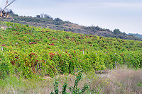 Old Syrah vines in the vineyard Terre D'Argence with a soil type reminiscent of Chateauneuf du Pape, big galet stones. Chateau Mourgues du Gres Grès, Costieres de Nimes, Bouches du Rhone, Provence, France, Europe