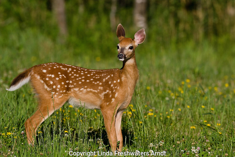 White-tailed fawn in summer