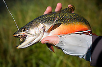 This brook trout took a grasshopper pattern on Blacktail Deer Creek near Dillon, Montana.