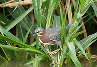 Green Heron, Butorides virescens, on the Tarcoles River, Costa Rica