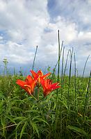 Wood lily Lilium philadelphicum, Minnesota<br />