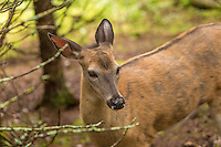 A white-tailed deer, ruminant mammal belonging to the cervidae family, is seen at the Refuge Pageau in Amos, Thursday August 25, 2016.