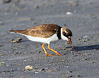 Adult male semipalmated plover in breeding plumage eating sand worm