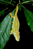 The Amber Mountain Chameleon (Calumma amber)<br />
